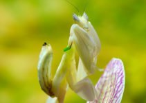 Orchid Mantis. Photo credit to Luc Viatour / https://Lucnix.be